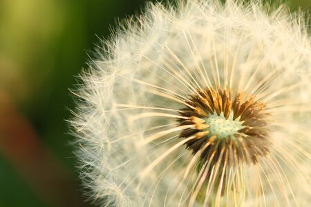 Dry dandelion flower seeds background. Spring time.