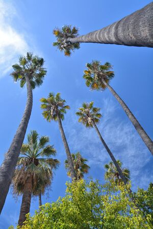 Tall palm trees over blue sky growing in Nice town, France.