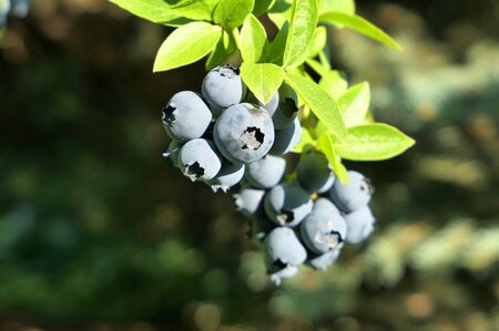 Highbush blueberry plant with fruits on branch growing in the garden.
