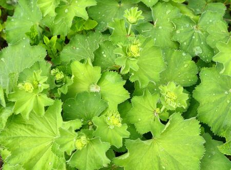 Lady's mantle Alchemilla plant with rain drops on leaves. Ornamental and medicinal herb. Green leaves background.