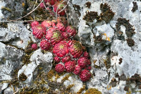 Red Sempervivum succulent plants growing between rocks.