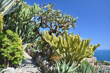 Exotic garden in Monaco, narrow alley between beautiful cacti plants.