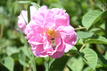The pink Isparta rose from which rose oil is produced with bee on rose petal.
