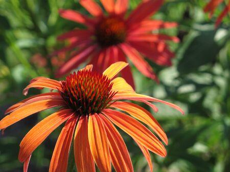 coneflower: A beautiful orange coneflower