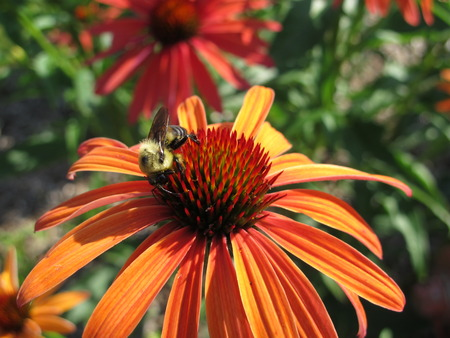A bee pollinating a coneflower