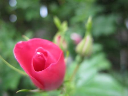 Delicate rosebud. Stock Photo