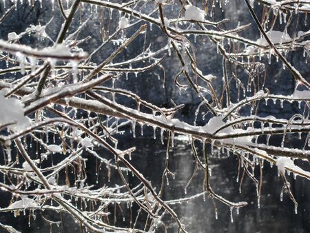 ice storm: Icicles on a bush following an ice storm.