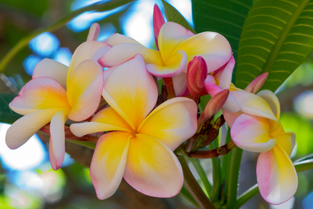Pink and yellow Plumeia blossoms.