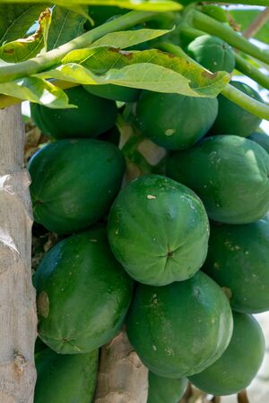 Closeup of unripe papaya on a tree.