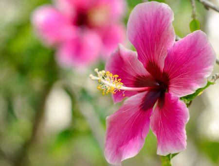 핑크 히비스커스 라.