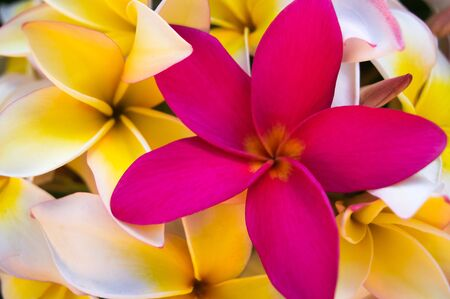 Be Unique. Pink Plumeia amongst yellow Plumeria flowers. 版權商用圖片