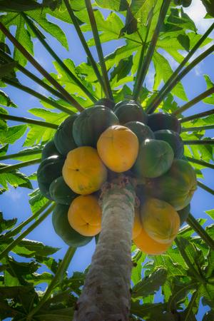 papaya tree: Papaya