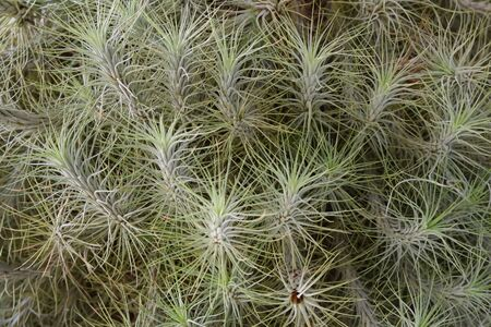 air plant: Close-up of a large Tillandsia plant. Stock Photo