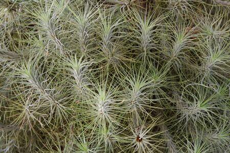 tillandsia: Close-up of a large Tillandsia plant. Stock Photo
