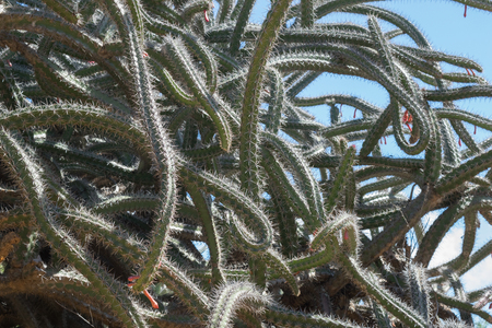 A tangle of Octopus Cactus thrives under a bright blue sky.