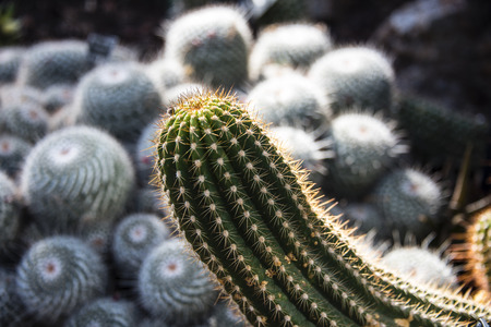 Long green cactus plant blooming toward sunlight, with sphere cactus plants growing in clusters in the blurred background. Stock Photo