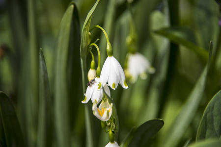 White dangling flower hangs from its green stem with baby white flower buds facing away from the sunlight. Stock Photo
