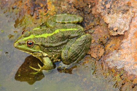 Frog on the rock at the edge of water. Shades of green and bright orange eyes