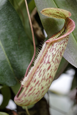 insectivorous plants: Exotic Pitcher Plant in its natural environment Stock Photo