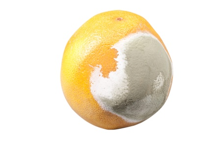 moldy orange on a white background photo