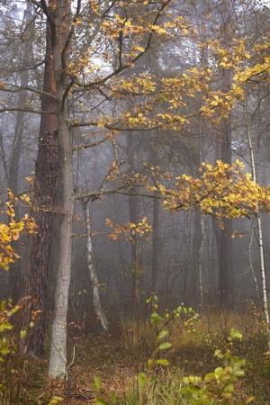 fog in a autumn wood