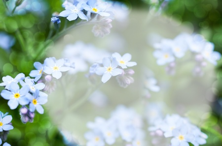 forget-me-not Stock Photo - 13566305