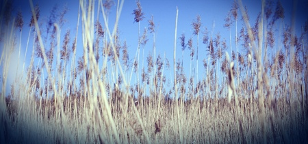 dry cane Stock Photo - 13566366