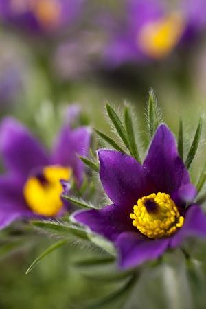 pasqueflower: pasque-flower