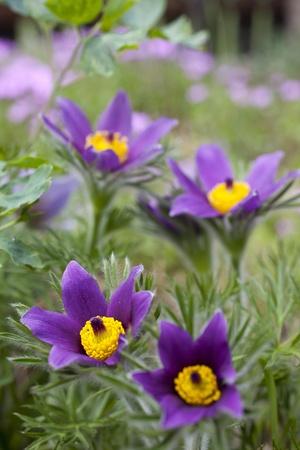 pulsatilla: pasque-flower