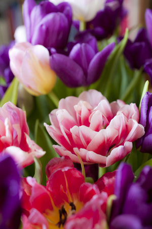 colorful tulips for background