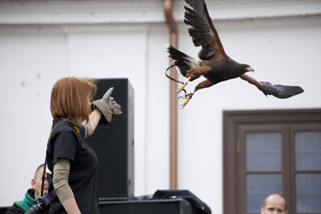 LIW, POLAND - September 13, 2016: Falcon hunting show on XV Knights tournament in LIW, Poland