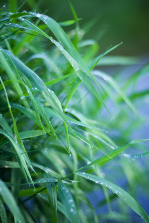 grass with dew natural background