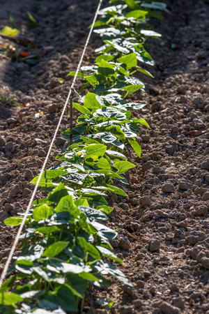 straight line: gardener technique of planting an organized row of organic green beans growing in natural ground with string for a straight line,in summertime,daylight