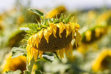 withered flower: natural field of sunflowers - closeup of a withered flower of sunflower in genuine sunny daylight with sunflower field in the background