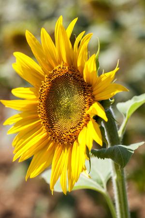 girasol: campo natural de girasoles - de cerca de la textura del corazón de un girasol que florece en una verdadera luz del día soleado, con campo de girasol en el fondo