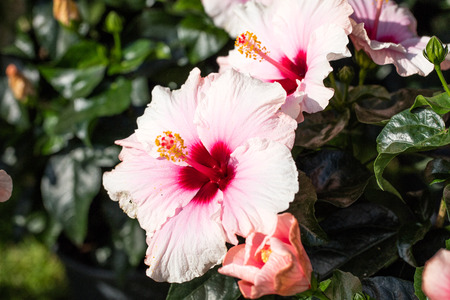 stigmate: close-up of pink hibiscus flower and bush with stigma,stamen and pistil in natural summer daylight,
