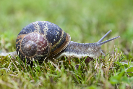 hermaphrodite: closeup of one big brown snail sliding on green grass in garden Stock Photo