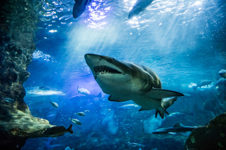 closeup of one scary big tiger shark swimming with other fishes in sunlight ocean waters