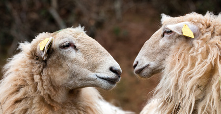 head portrait of two long wool hair sheep facing and watching at each other the mountain in the winter for agriculture and ecology