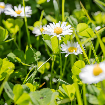 closeup of beautiful small daisies in green grass for wildflowers, springtime and sustainable biodiversity