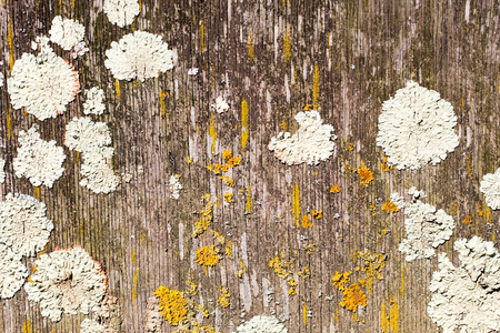 white and yellow moss texturing a vintage wooden board with old paint for vertical worn out hardwood board and rustic template Imagens