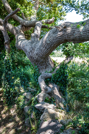 old tortuous oak tree with ivy and stones in the summer shade for concept of ancestor, tale, history, respect, poesy or complexity in nature and environment