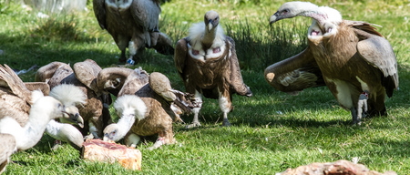 European Griffon Vultures in a group of large scavenger birds eating their curee of meat outdoors