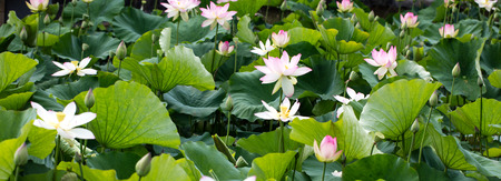 group of beautiful pink and white lotus flowers or Nelumbo in full blossom in natural pond at daylight in green and fresh garden, panoramic view