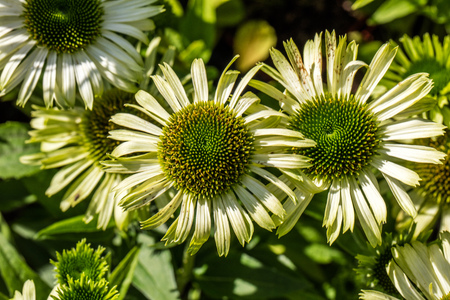 echinacea: Blooming flowers of green jewel Echinacea or coneflowers in closeup for perennial garden, flora or homeopathic alternative medicine