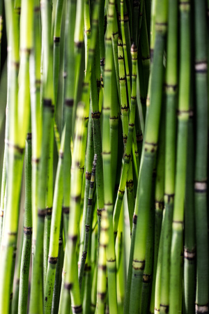 green horsetail stems, Snake Grass, Puzzlegrass or living fossil Equisetum in closeup for beautiful nature, sustainable environment or botanic wallpaper
