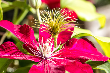 Red Passion clematis pistils and flowers in a sunny garden in the summer, name Rebecca clematis
