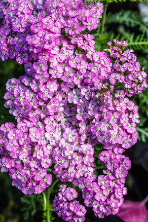flora wallpaper of pink Achillea, called Apple Blossom blooming for beautiful spring and summer flora and garden, top view