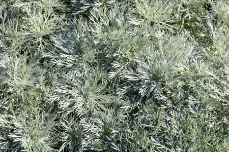 Artemisia Schmitidiana, Nana groundcover mugwort, grey green textured leaves for perennial aromatic herbaceous garden and sunny foliage Фото со стока