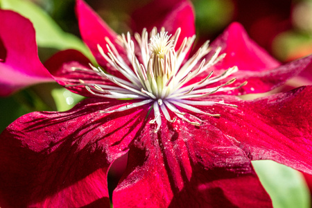 closeup of a beautiful Red Passion clematis flowers and pistils in a sunny garden in the summer, name Rebecca clematis
